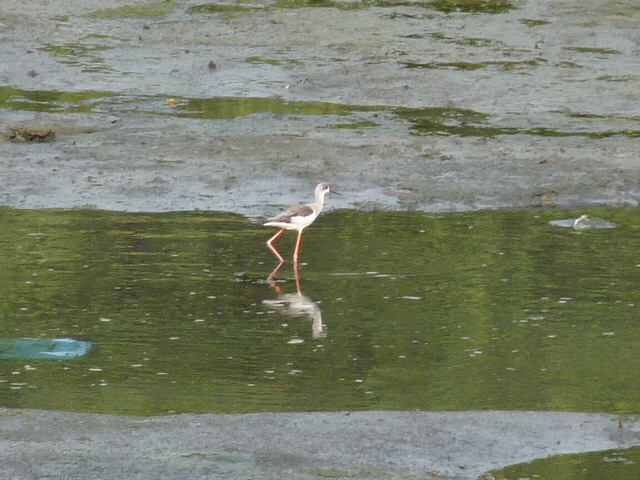 Black-winged Stilt in Mangalavanam