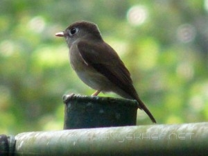 Brown-breasted Flycather in Thatekad