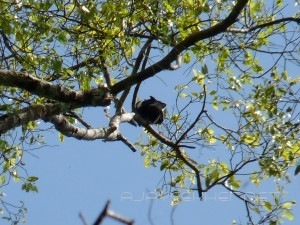 Black Baza in Thatekad