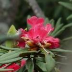 Rhododendron Nilgirica: A Shola delight!