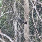 An Elusive Bird: Nilgiri Wood Pegion