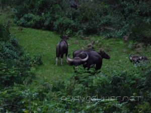 Indian Gaur: A small herd of a bull, few females and calves