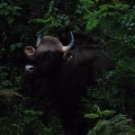 Gaur calf coming close!
