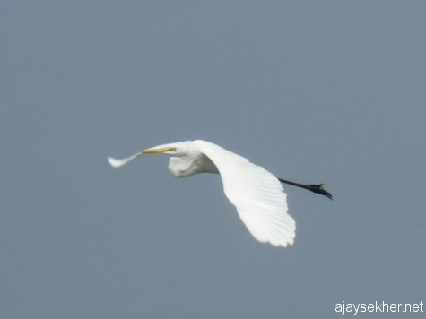 The art of flying: An egret gliding along the boat on the way to Fort Kochi for the Biennale.