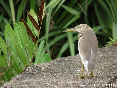 An organic vigil:  A diligent Pond Heron at the Black Beach, Varkala.