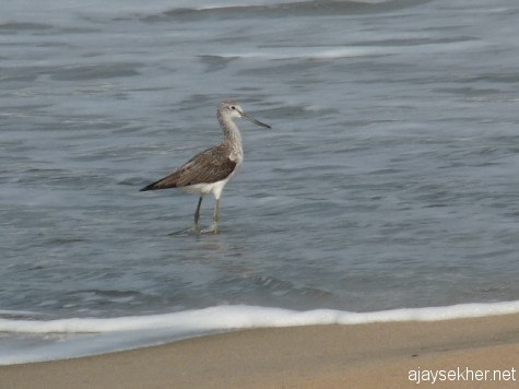 A Green Shank at Puthiyam beach, between Vallikunnu and Kadalundy.  6 Jan 2013.