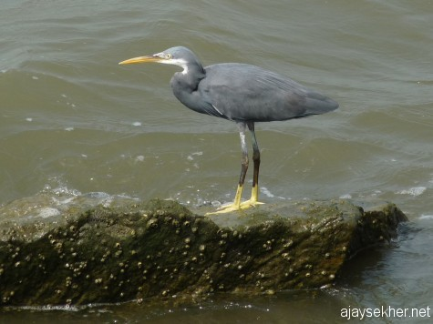 A Western Reef Egret by the wave breaker at the mouth of the Chaliyar.  Pacific Reef Egrets were also seen but could not shoot as I was riding.