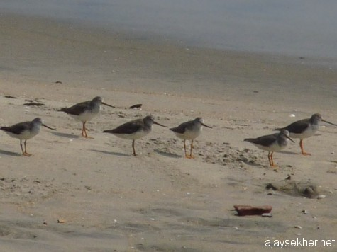 A group of Terek Sandpipers at Chaliyam beach, 6 Jan 2013.