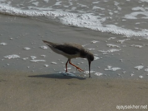 Terek Sandpiper feeding crustaceans with its long slightly  upward curved  bill at Chaliyam beach.