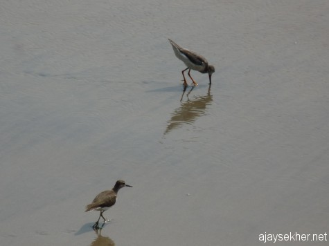 Common Sandpiper and Terek Sandpiper (upper right) at Chaliyam.  Common Sandpipers have become extremely uncommon this winter on the Malabar coast.