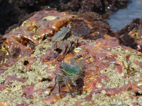 Marine crabs at Kadalundy river mouth.