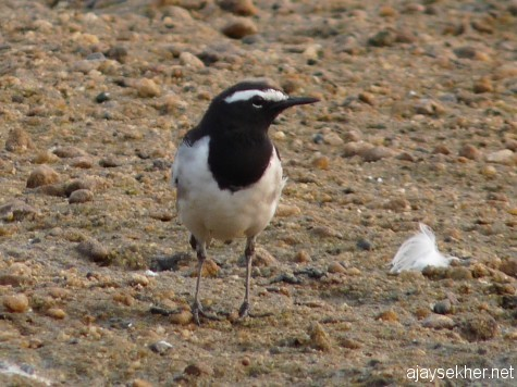 A Large Pied Wagtail/ White-browed Wagtail in the NIla at Kutipuram, 7 jan 2013.
