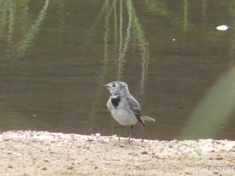 A White Wagtail in the Nila at Kutipuram, 7 jan 2013