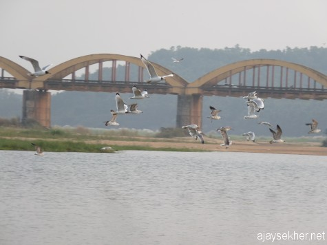 Big Gulls flying in Nila.  Kutipuram bridge in the back ground.  7 Jan 2013