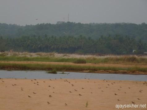 Pratincoles doting the sand bed in the Nila at Kutipuram, 7 jan 2013.