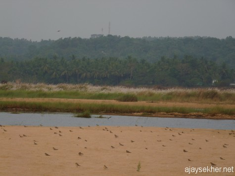 Pratincoles doting the sand bed in the Nila at Kutipuram, 7 jan 2013.