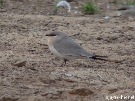 A Small Pratincole in river Perar at Kutipuram, 7 Jan 2013.