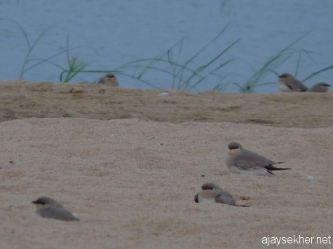 Small Pratincoles reclining on the sand beds of Nila or river Perar at Kutipuram.  7 Jan 2013