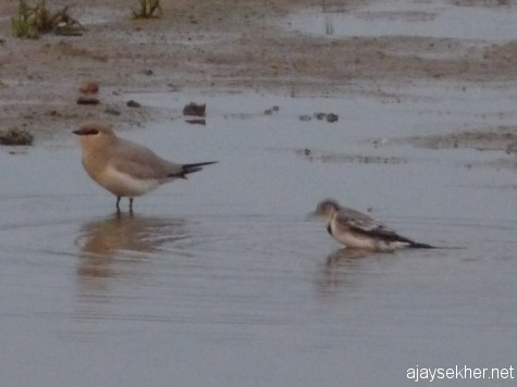 Small Pratincole and White Wagtail having a dip in the river Perar at Kutipuram, 7 jan 2013.