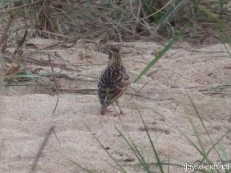 A Jerdon's Bush Lark on a sand bank in the Nila at Kutipuram. 7 Jan 2013