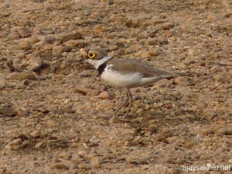 A fast running Little Ringed Plover on the shingled banks of the Perar/Nila at Kutipuram on the morn of 8 jan 2013.