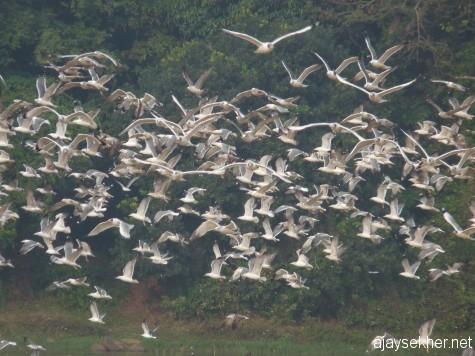 Big Gulls in flight in the NIla at Kutipuram, 8 Jan 2013.