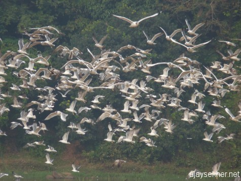 Big Gulls in flight in the NIla at Kutipuram, 8 Jan 2013.