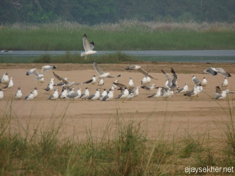 Heuglin and Pallas' Gulls in the Perar at Kutipuram, 8 jan 2013 morn.  White headed ones are Heuglin Gulls.  Black hooded ones are Pallas' Gulls.