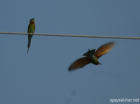 Blue-tailed Bee-eaters at Pullazhy Kol, 19 jan 2013.