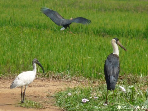 A White Ibis and White-necked/Wooly-necked Storks at Puzhakal Kol, 19 jan 2013.