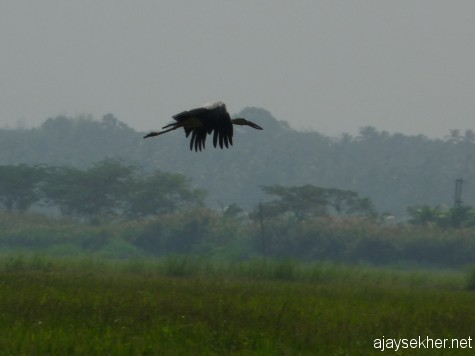 An Open-bill Stork in flight at Enamavu Kol, 19 jan 2013.