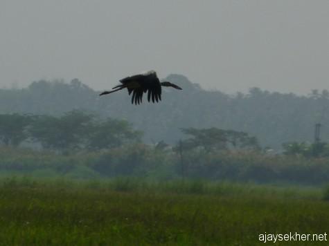 An Open-bill Stork in flight at Enamavu Kol, 19 jan 2013.