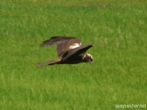 Eurasian Marsh Harrier scanning the field at Adat Kol, 19 jan 2013.  Also so a Pied Harrier at Pullazhy in the morning.