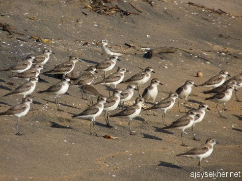 A group of Sand Plovers in Ponnani shore.  16 feb 2013