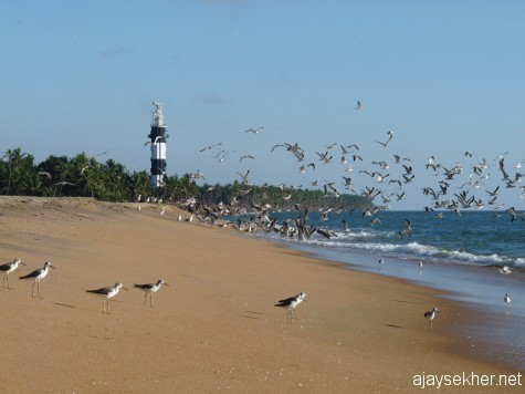 Green Shanks and big gulls at Ponnani beach.  The colonial light house in the back ground.  Ponnani was also one of the important ports after Muziris.  The Zamorins of Calicut made it their second capital as their naval chiefs Marakars were originally from here.
