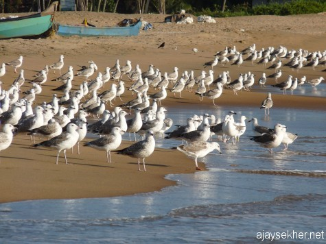 Wintering big gulls on Ponnani beach. 16 feb 2013