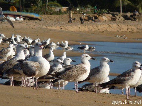 Big gulls including Heuglin and Yellow-legged Gulls (first and second wintering) at Ponnani beach. 16 feb 2013.