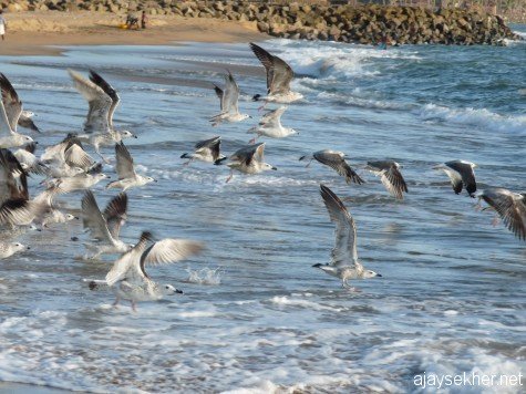 Big gulls in flight along the Ponnani coast.