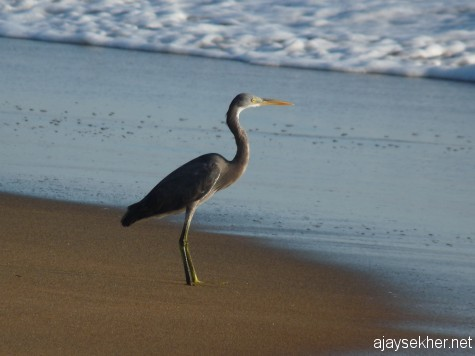 A Western Reef Egret at Ponnani beach, 16 feb 2013.