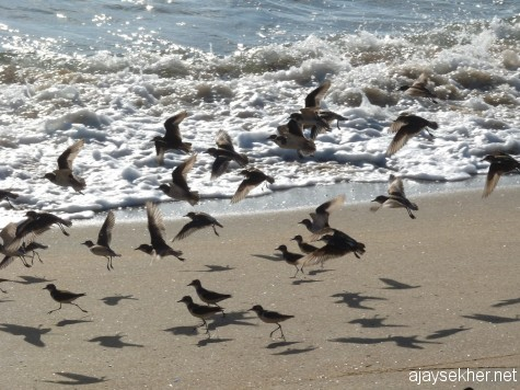 A migrant group of Sand Plovers landing on Ponnani coast, 16 feb 2013.