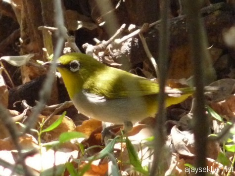 A White-eye near Gudalur, early March 2013.