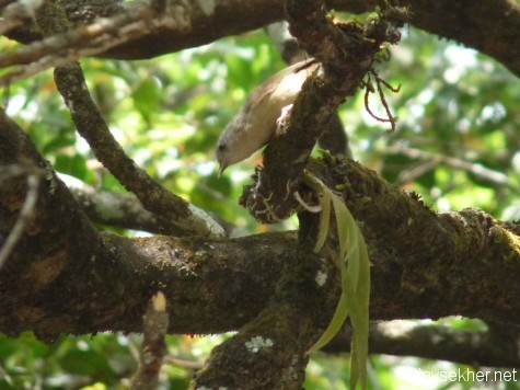 Brown-cheeked Fulvetta in a crisscrossed shola patch near the road between Gudalur and Naduvattam, early March 2013.