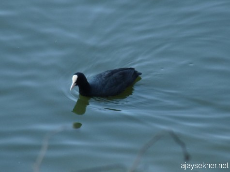 A Coot in Ooty lake, early March 2013.