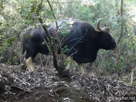 Indian Gaur bull just above the road near Dodabetta, Ooty, early march 2013.