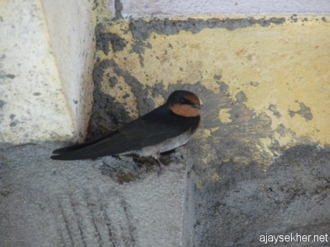 A Barn Swallow trying to nest inside a building under construction in Naduvattam, Nilgiris.
