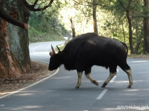 Indian Gaur crossing the Ooty-Kotagiri road near Dodabeta peak, early March 2013.