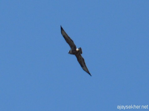A Kestrel flying above Pykara falls, early march 2013.