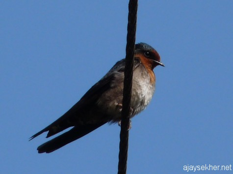 A Swallow at Naduvattam, early March 2013.