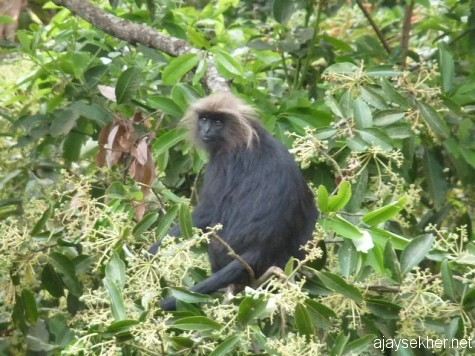 A Nilgiri Langur near Needle Rock, early March 13.
