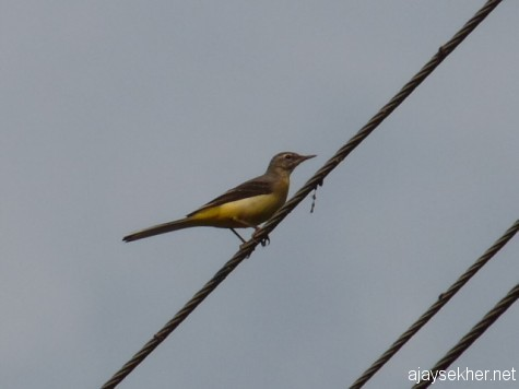 Grey Wagtail near the Frog Rock on the gateway to the Nilgiris from Gudalur.  A migrant from distant lands, early March 2013.